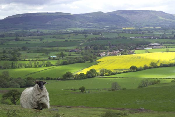 Sheep with view over rural North Yorkshire