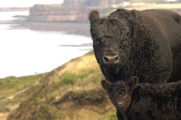 Cow and calf by the sea in North Yorkshire.