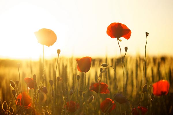Poppies in a field in front of a sunset