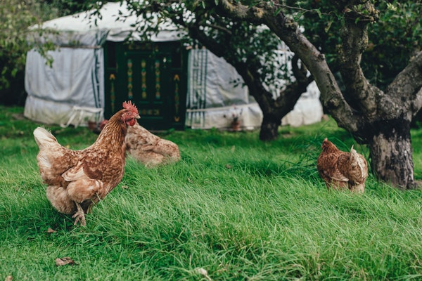 Chickens outside of coop on grass in North Yorkshire.