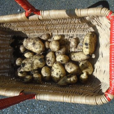 Photograph of fresh potatoes at Twinkle Twinkle
