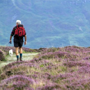 Man and dog walking across heather moorland in the north York Moors
