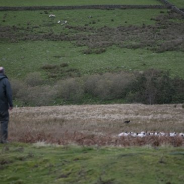 Arkengarth farmer and sheep in field