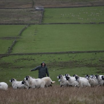 Arkengarth sheep farmer in field