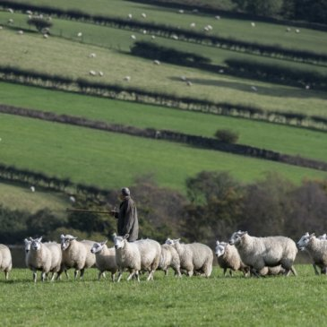 Farmer gathering sheep