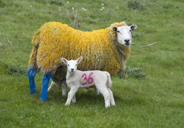 Yellow and blue sheep