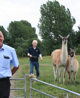 Highways inspector Fred Bowman with Henry Vallance and the llamas Pria and Nenyo her baby