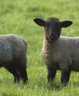 Two lambs on a North Yorkshire farm