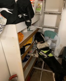 a Wagtail tobacco detection dog in operation